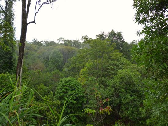 Forêt Sarawak Bornéo
