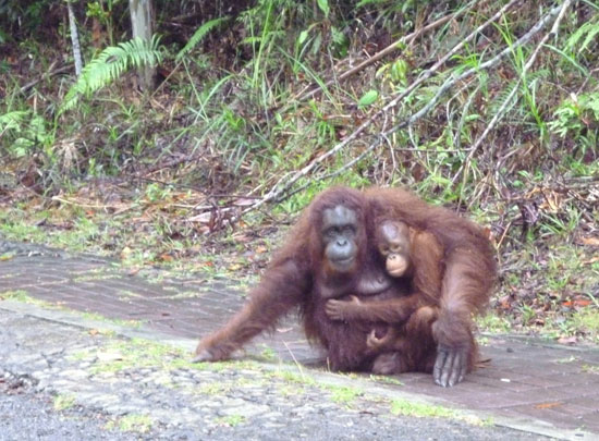 Mère orang-outan, Bornéo