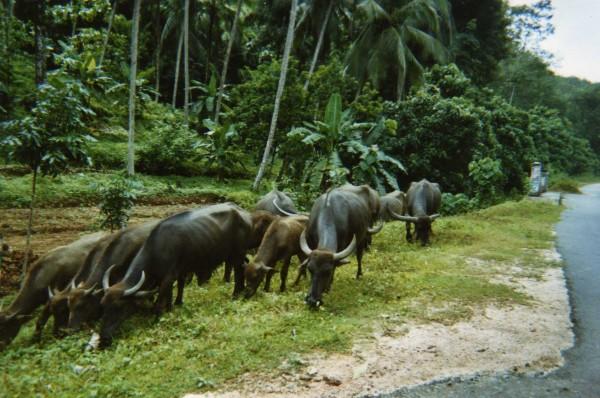 Buffles sur la route de Ratnapura Sri Lanka