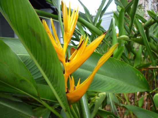 Fleur jaune, Sarawak Bornéo
