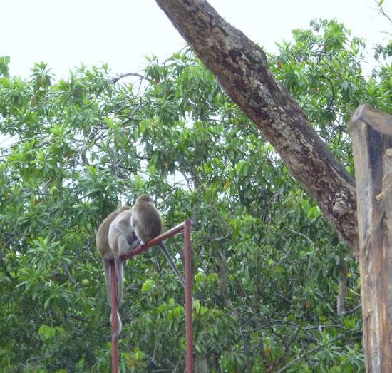 Macaques (Bornéo)
