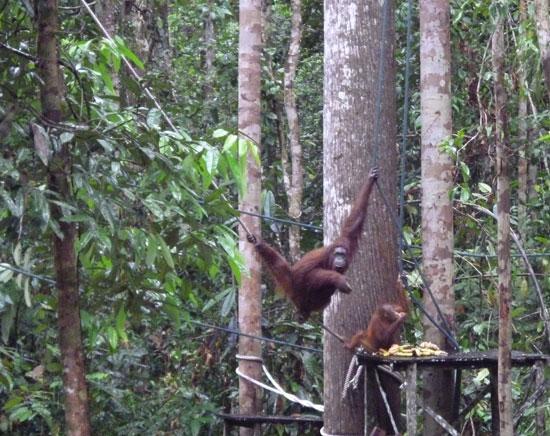 Orangs-outans, Bornéo